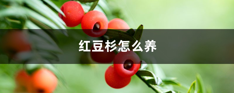 红豆杉怎么养,红豆杉树图片