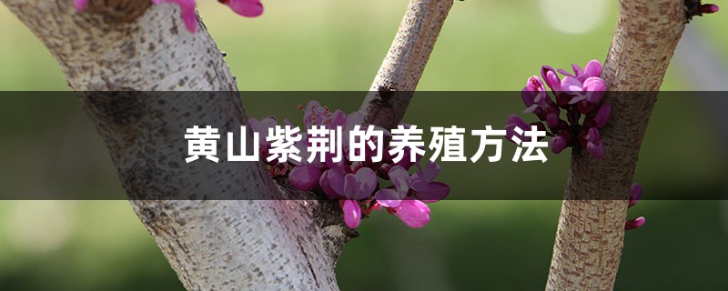 黄山紫荆的养殖方法