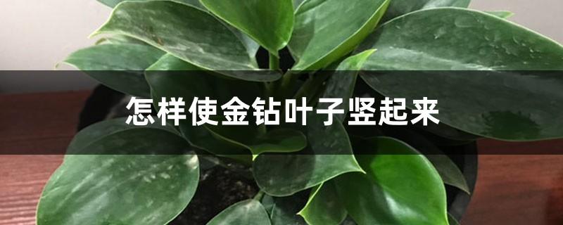 怎样使金钻叶子竖起来,叶子下垂怎样补救