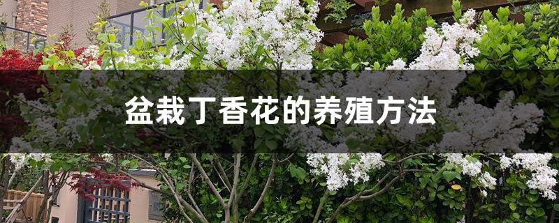 盆栽丁香花的养殖方法,丁香花需要修剪吗