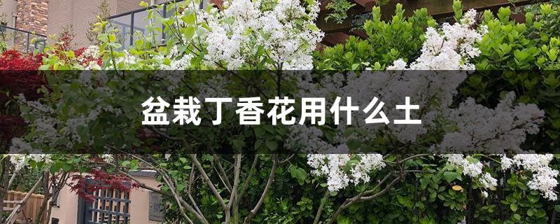 盆栽丁香花用什么土,丁香花的其他养护因素