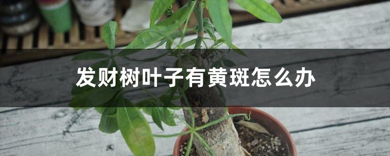 发财树叶子有黄斑怎么办,冬天怎么养才能安全过冬