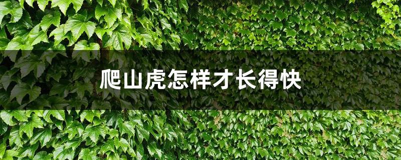 爬山虎怎样才长得快,冬季落叶吗