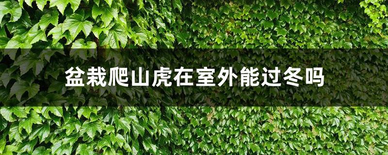 盆栽爬山虎在室外能过冬吗,冬季要不要剪枝