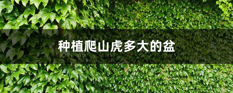 种植爬山虎多大的盆,刚种的爬山虎怎么施肥
