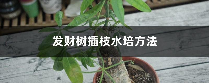 发财树插枝水培方法