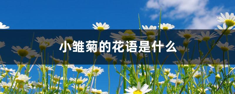 小雏菊的花语是什么,小雏菊图片