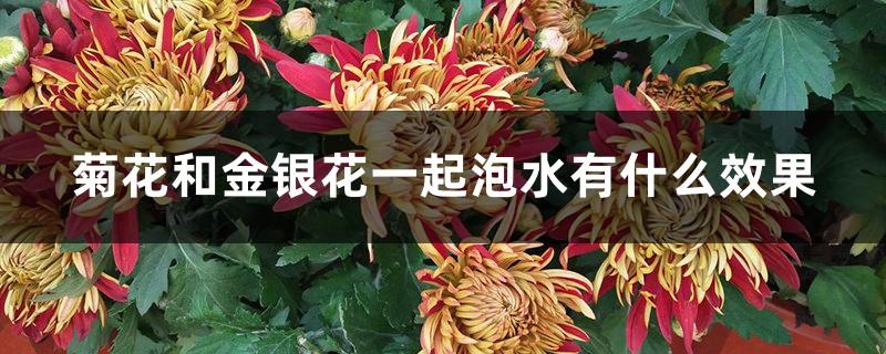菊花和金银花一起泡水有什么效果
