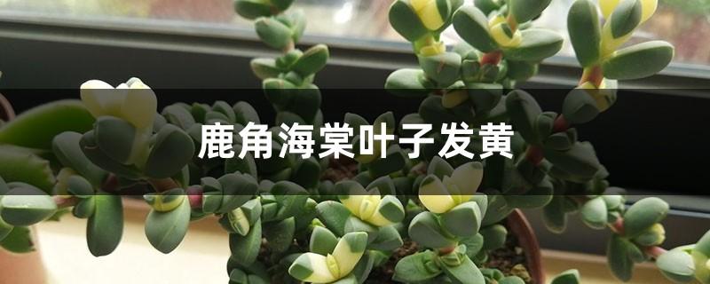 鹿角海棠黄叶的原因和处理办法
