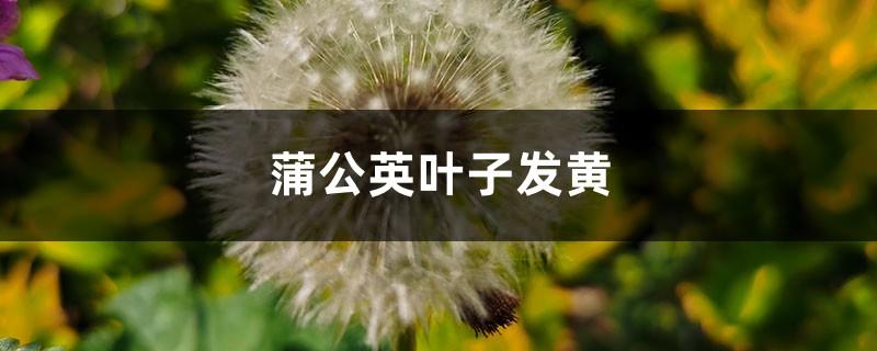 蒲公英黄叶的原因和处理办法