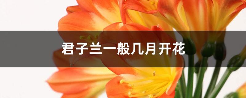 君子兰一般几月开花,能开多长时间
