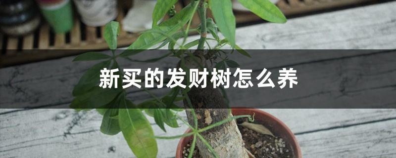 新买的发财树怎么养