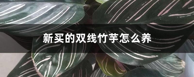 新买的双线竹芋怎么养
