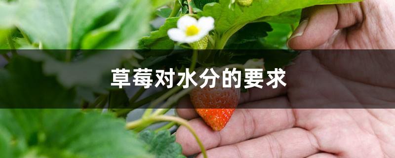 草莓对水分的要求