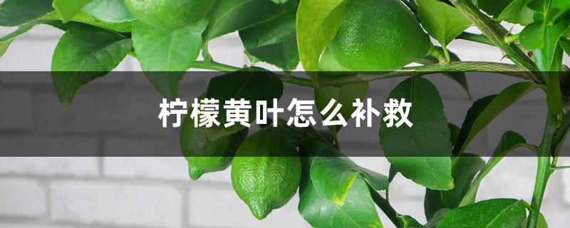 柠檬黄叶的原因和处理办法