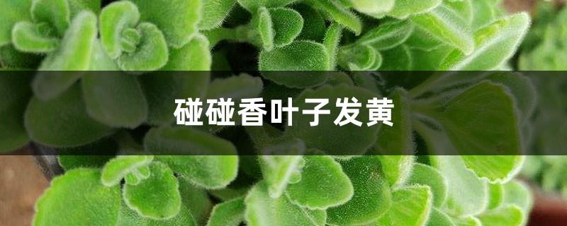 碰碰香黄叶的原因和处理办法