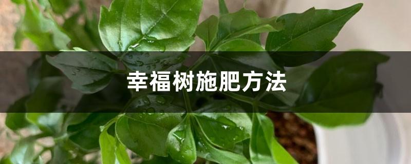 幸福树施肥方法,幸福树施肥用什么肥料