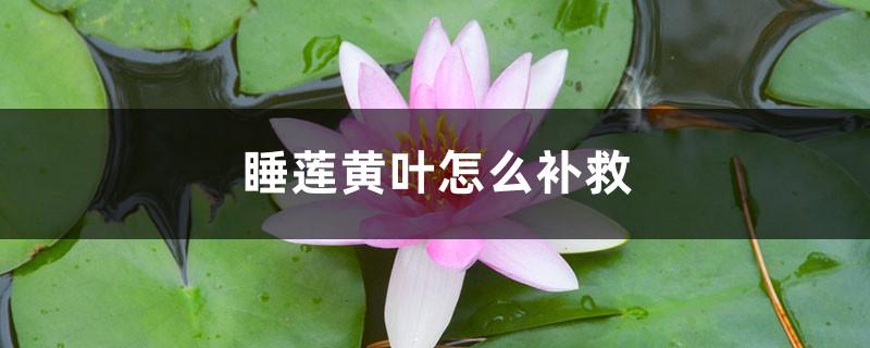 睡莲黄叶的原因和处理办法