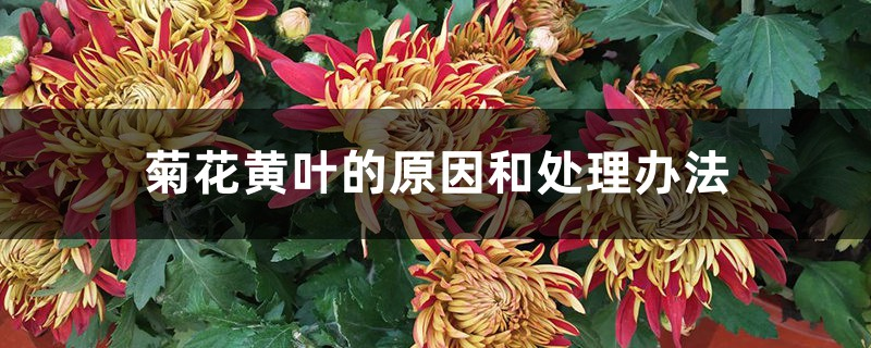 菊花黄叶的原因和处理办法