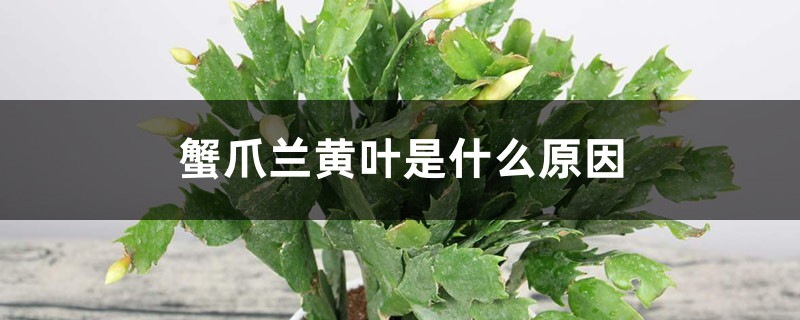 蟹爪兰黄叶是什么原因,用什么补救