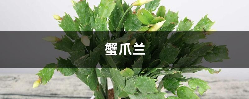 仙人掌嫁接蟹爪兰的养殖方法和注意事项