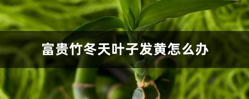 富贵竹冬天叶子发黄怎么办
