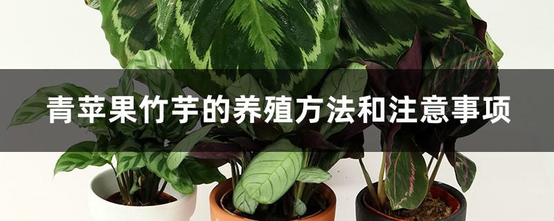 青苹果竹芋的养殖方法和注意事项