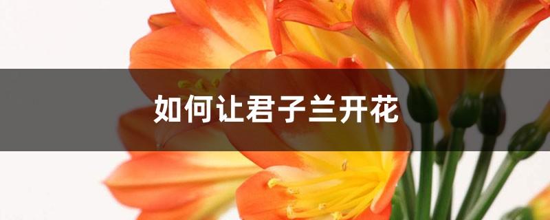 如何让君子兰开花