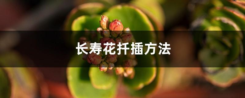 长寿花的扦插方法