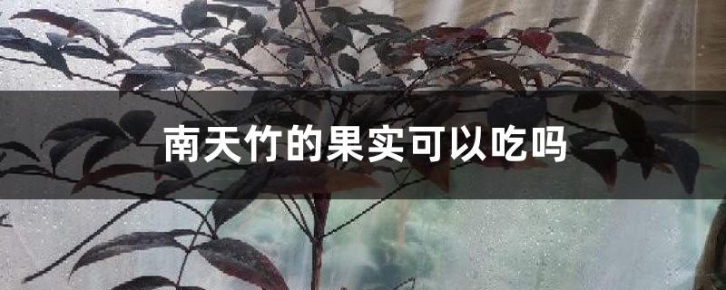 南天竹的果实可以吃吗,吃多少会中毒