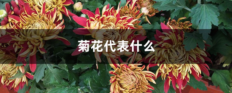 菊花代表什么,有什么禁忌