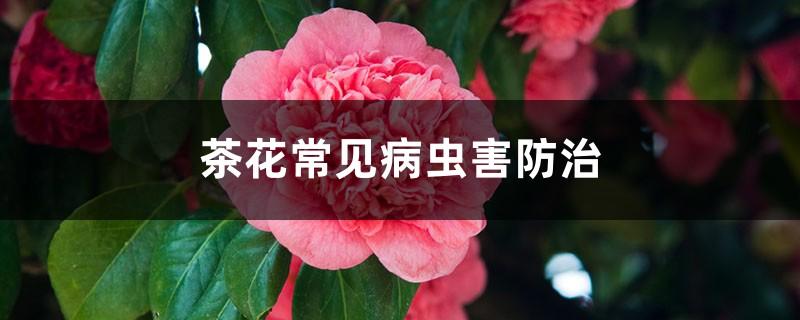 茶花常见病虫害防治,茶花病虫害用药