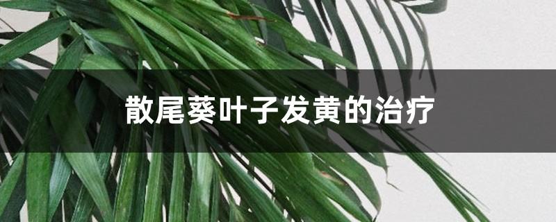 散尾葵叶子发黄的治疗,黄叶怎么回事
