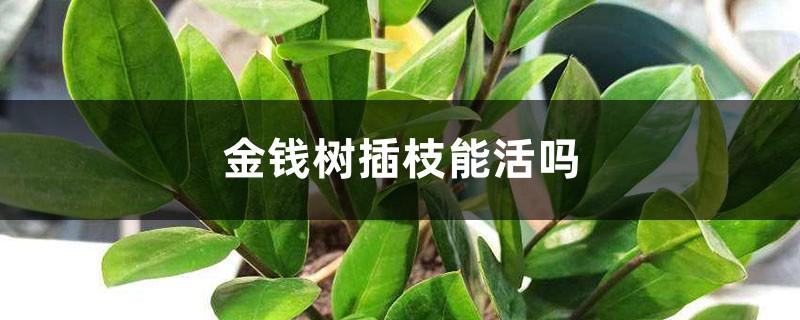 金钱树插枝能活吗,什么季节扦插好
