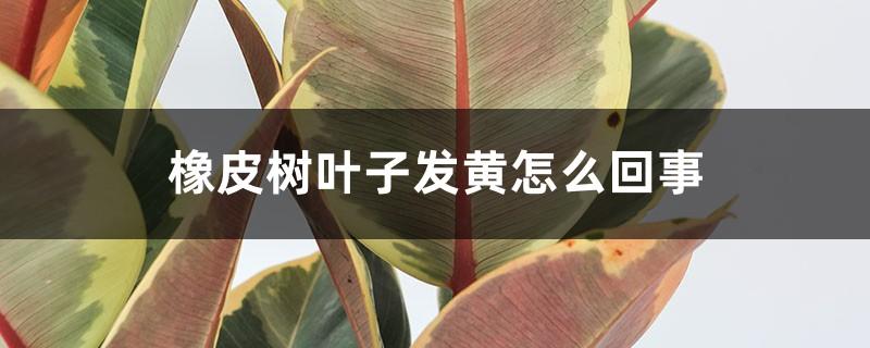 橡皮树叶子发黄怎么回事,怎么补救