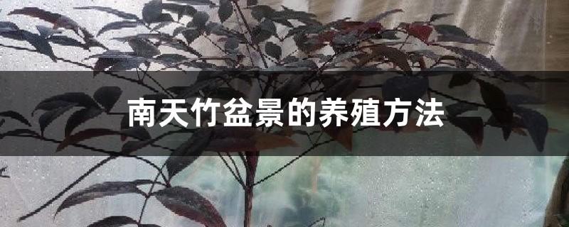 南天竹盆景的养殖方法,怎么养根
