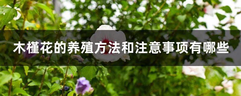 木槿花的养殖方法和注意事项有哪些
