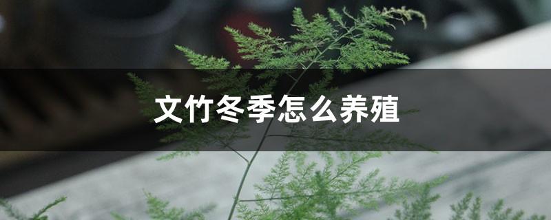 文竹冬季怎么养殖