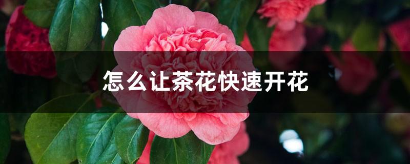 怎么让茶花快速开花,开花期如何护理