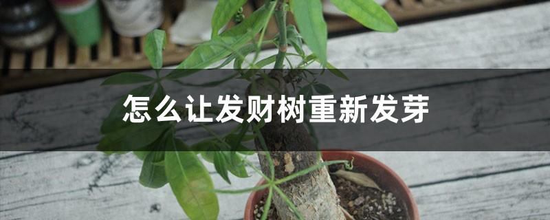 怎么让发财树重新发芽,发芽后怎么培育