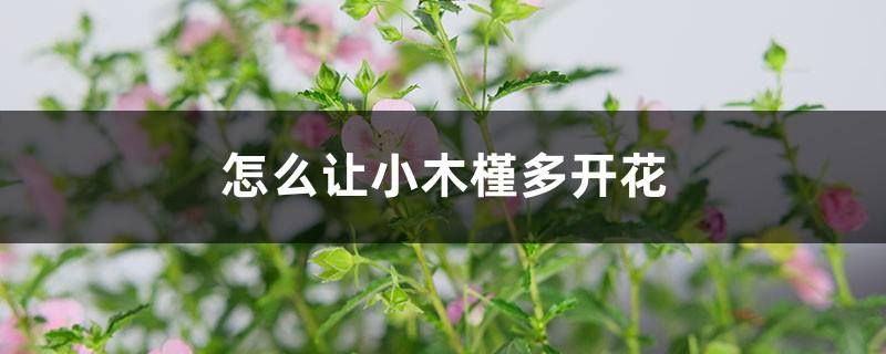 怎么让小木槿多开花,开花期怎么养