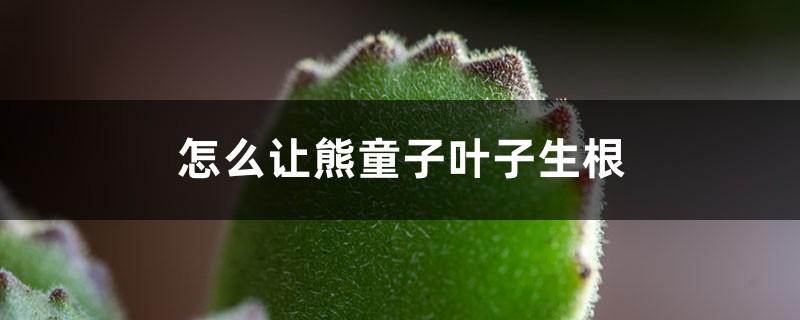 怎么让熊童子叶子生根,叶子可以种吗