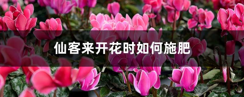 仙客来开花时如何施肥,开花后的处理