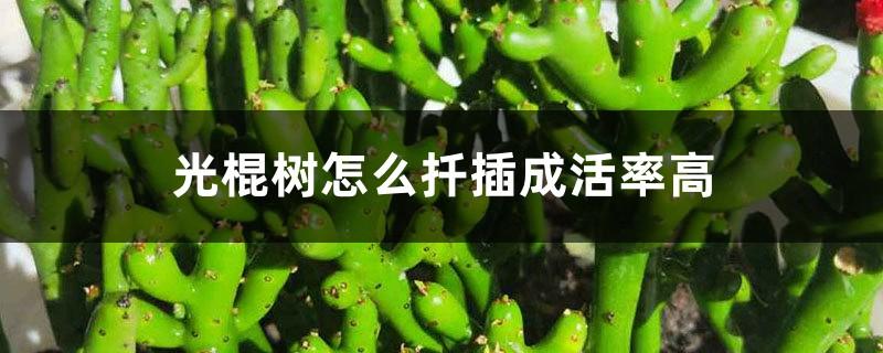 光棍树怎么扦插成活率高,其他繁殖方法