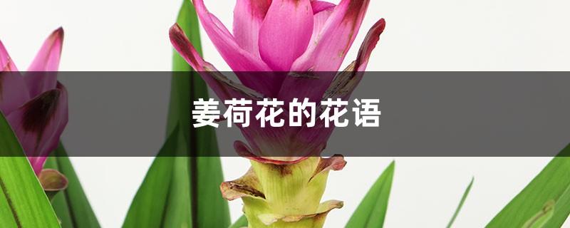 姜荷花的花语,有什么传说故事