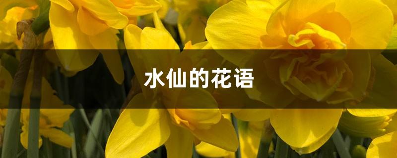 水仙的花语和寓意,有什么传说故事