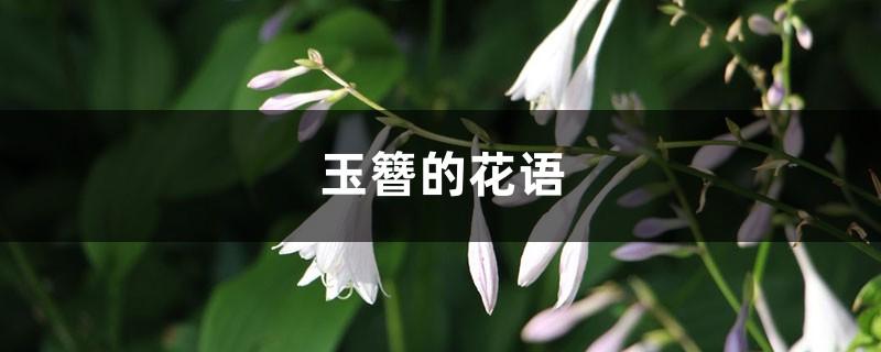玉簪的花语和寓意,有什么传说故事
