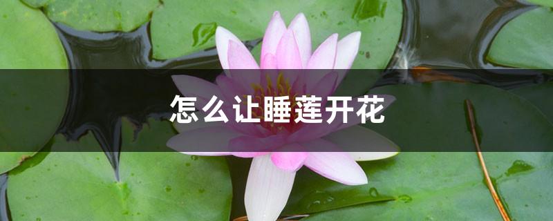 怎么让睡莲开花,一天什么时候开花