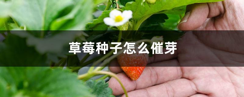 草莓种子怎么催芽,怎么育苗