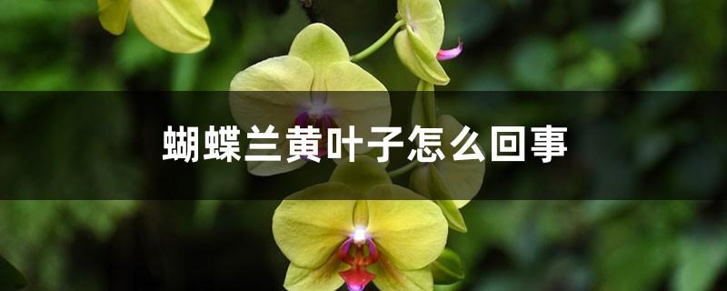 蝴蝶兰黄叶子怎么回事,黄叶怎么办